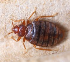 bed bugs pest control essex 235x210 - Bed Bugs