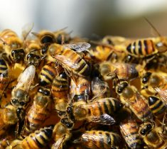 bees pest control essex 235x210 - Bee Problems & Removal