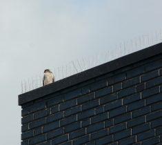 bird spike pest control essex 235x210 - Bird Deterrents