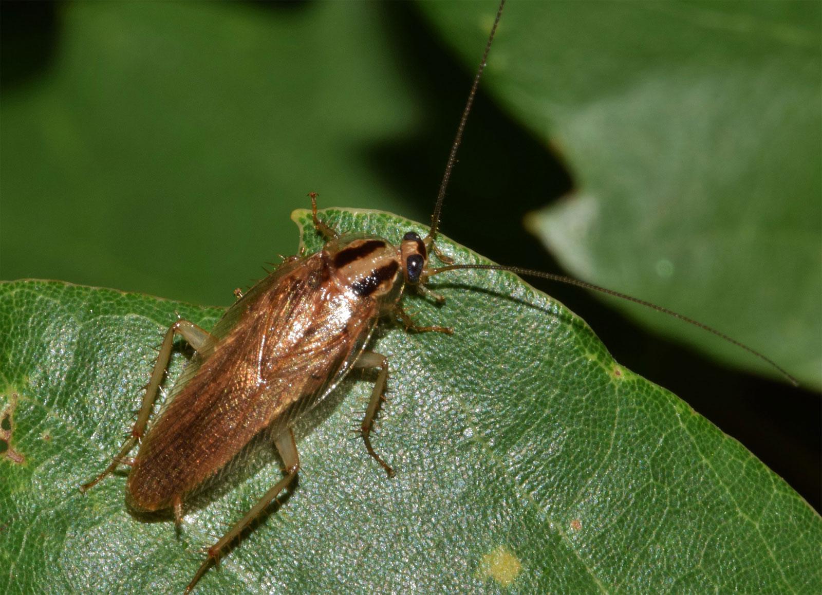 cockroach problem  u0026 pest control  chelmsford  cambridgeshire  essex
