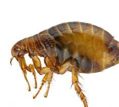 flea pest control essex 235x210 - Fleas