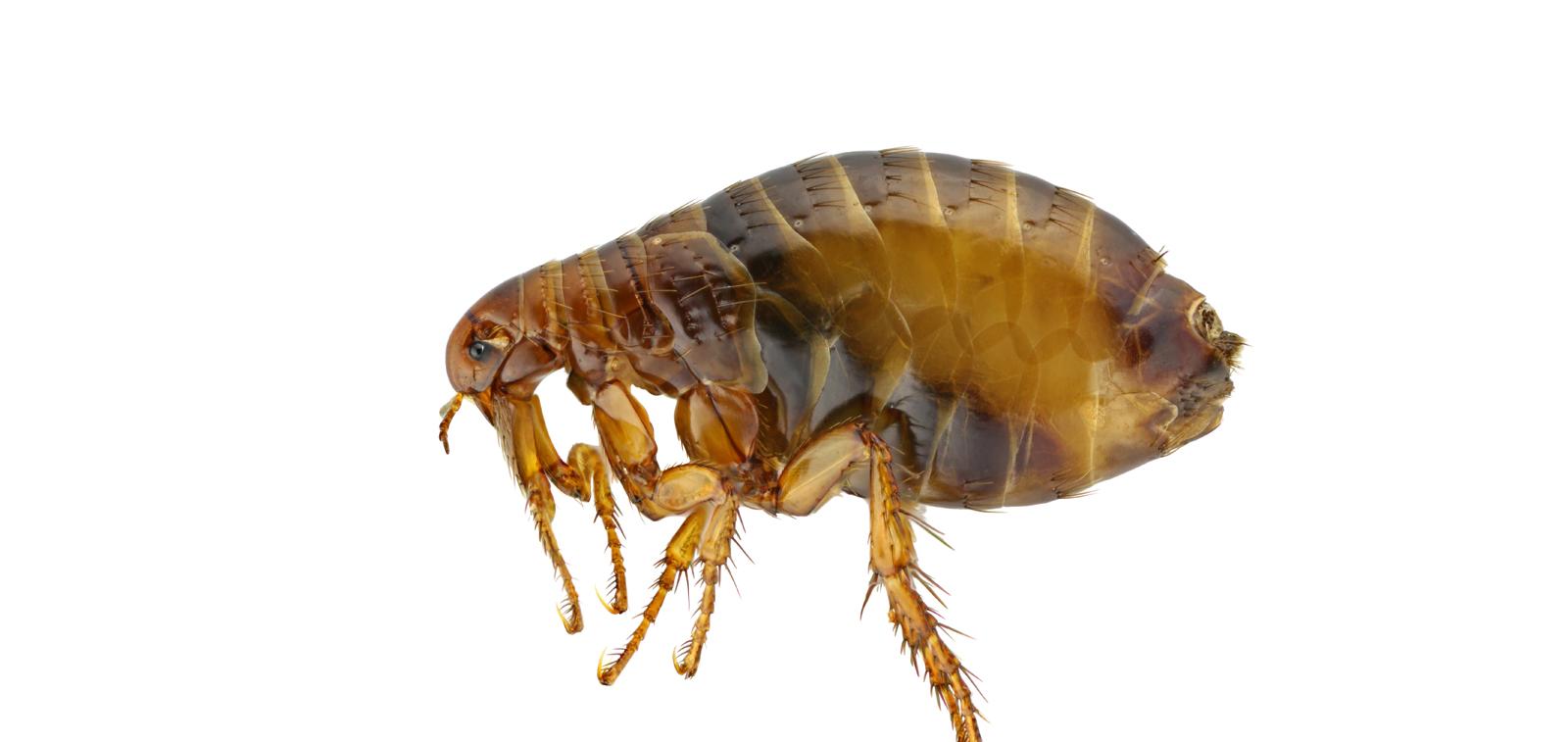 Flea Problems Amp Pest Control Chelmsford Cambridgeshire