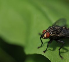 flies pest control essex 235x210 - Fly Problems & Removal