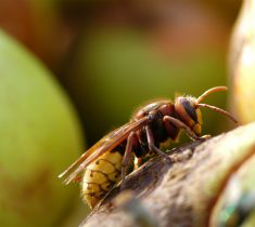 hornet pest control essex 235x210 - Hornet Problems & Removal