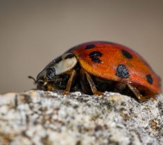 ladybirds pest control essex 235x210 - Ladybird Problems & Removal