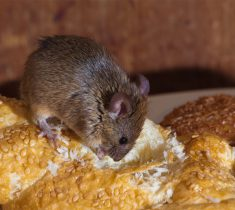 mice pest control essex 235x210 - Mice Problems & Removal