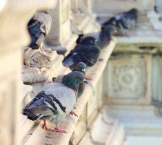 pigeon 2 pest control essex 235x210 - Bird Proofing