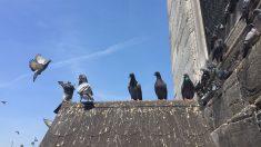 pigeon pest control essex 235x132 - Commercial Pest Control