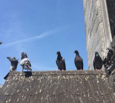 pigeon pest control essex 235x210 - Pigeon Removal & Problems