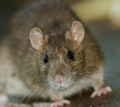 rats pest control essex 235x210 - Rat Problems & Removal