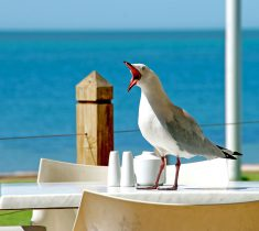 seagull pest control essex 235x210 - Seagull Removal & Problems