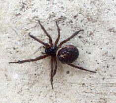 spider pest control essex 235x210 - Spider Problems & Removal
