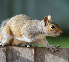 squirrel pest control essex 235x210 - Squirrel Problems & Removal