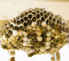 Residential Pest Control - Wasp Nest Removal