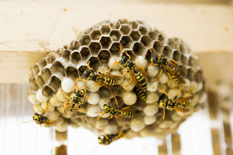wasps pest control essex 768x512 - Wasp and Wasps Nest Removal, Colchester, CO1, Essex
