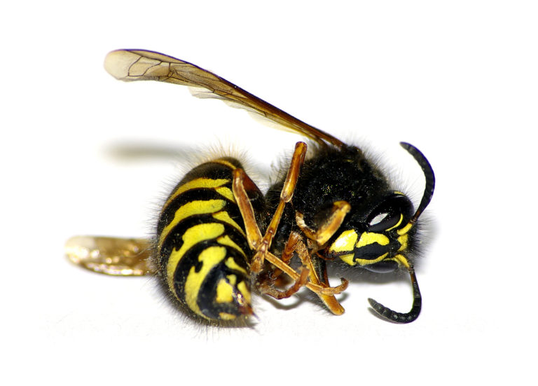 wasp 768x551 - Wasp and Wasps Nest Removal, Upminster, RM14, Essex